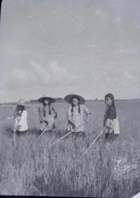 1964年,芜湖日报拍摄的南陵县弋江区(种业)摄影底片四种
