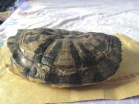 元宝乌龟壳