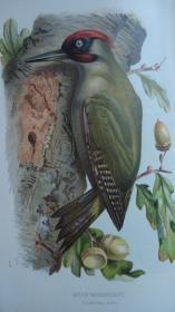 【补图】1881年- Familiar Wild Birds《常见野鸟图谱》第1辑初版本 珍贵满金彩绘豪华版 40枚手工上色珂罗版彩色插图 绝伦美艳