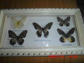 蝴蝶标本  ---(30*17)