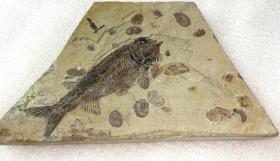 """极为罕见和难得的完整""""金刚山鱼""""化石,精品""""稀有金岗山精品鱼""""化石,极高学术和科研价值,""""金刚山鱼""""品相完好,收藏佳品,可遇不可求的化石珍品"""