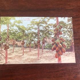 E-0265 侵华史料清朝民国影像老照片老明信片 明信片邮便《原色台湾果物 木瓜景观》1枚14/9厘米