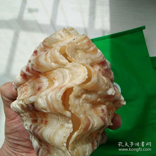 大扇貝貝殼一對,湊一對,很難,當擺件佳品