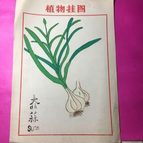 植物挂图-14(大蒜)