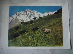水粉画:春到牧场 印刷品 8开大小