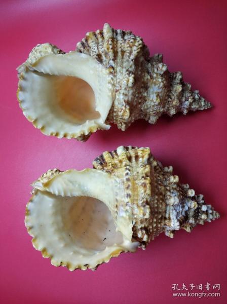 一對海螺,魚缸擺件