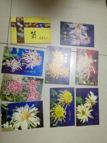 菊〈2〉康正平摄影8张明信片