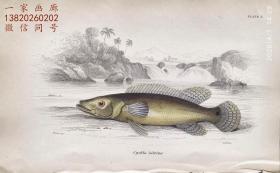 1843年版《自然博物馆系列丛书:圭亚那地区鱼类图谱》系列彩色铜版画— 《CYCHLA LABRINA》古老的手工上色