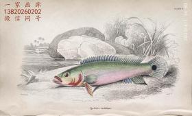 1843年版《自然博物馆系列丛书:圭亚那地区鱼类图谱》系列彩色铜版画— 《CYCHLA RUTILANS》古老的手工上色