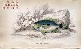 1843年版《自然博物馆系列丛书:圭亚那地区鱼类图谱》系列彩色铜版画— 《CENTRARCHUS ROSTRATUS 》古老的手工上色