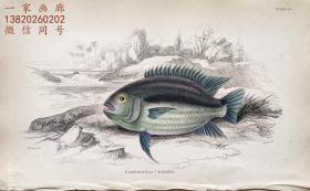 1843年版《自然博物馆系列丛书:圭亚那地区鱼类图谱》系列彩色铜版画— 《CENTRARCHUS VITTATUS 》古老的手工上色