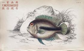 1843年版《自然博物馆系列丛书:圭亚那地区鱼类图谱》系列彩色铜版画— 《POMOTIS FASCIATUS 》古老的手工上色