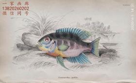 1843年版《自然博物馆系列丛书:圭亚那地区鱼类图谱》系列彩色铜版画— 《CENTRARCHUS CYCHLA 》古老的手工上色
