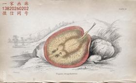 1843年版《自然博物馆系列丛书:圭亚那地区鱼类图谱》系列彩色铜版画— 《 TRYGON STROGYLOPTERUS 》古老的手工上色