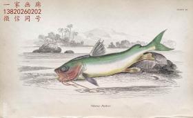 1843年版《自然博物馆系列丛书:圭亚那地区鱼类图谱》系列彩色铜版画— 《SILURUS PARKERI》古老的手工上色