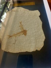 书本鱼化石