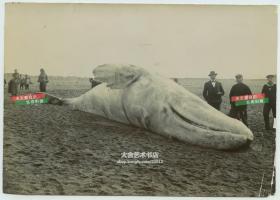 清代山东青岛海滩上搁浅死亡的白鲸老照片,外国军队前来考察,附近有不少围观的清代中国百姓。17.3X12.2厘米。
