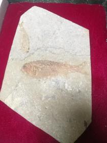 中科院南京古生物研究所)早期收藏鱼化石