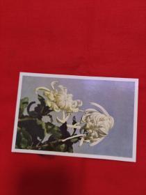明信片,菊花,以图片为准