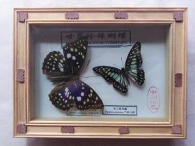 珍惜蝴蝶标本摆件