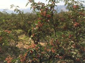 陜西韓城大紅袍花椒 500克 自種 ;因在陜北高原,純天然,不打農藥,無污染,純綠色