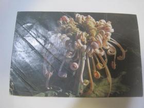 1990年实寄明信片(湖北蒲口——湖北武汉,菊花)(85763)