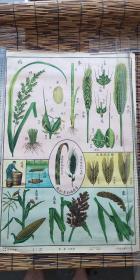 自然科学植物挂图 1952年版本。两开十六张全