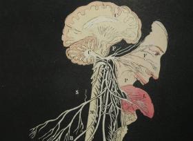 庆祝孔夫子网店开业10周年,株式会社明月成立4周年特选精品——约1842年刊世界首部立体解剖版画-使用彩色立体图形解释的人体组织和生理学