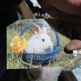 明信片 蓝筐白兔
