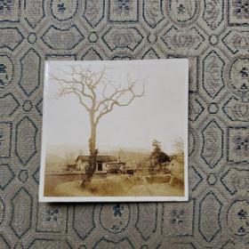 红色文献照片一枚:土地革命时期某某把农民杀害将人头挂在这个柚子树上(地点:黄陂虎桥乡虎眼桥) 背面有文字描述