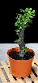 小叶紫檀盆栽一盆送花盆高25厘米