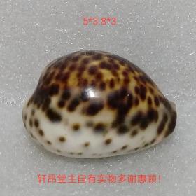 虎斑大宝螺一个