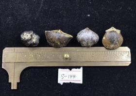 4335   玉化 贝壳 化石  4个