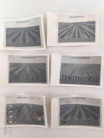 文革老照片:农业技术11张