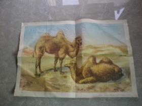 幼儿园教学挂图----骆驼------马碟仙画