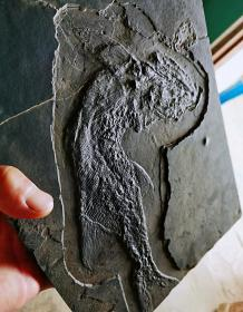 """生物化石,古生物化石,鱼化石,史前三叠纪时期出的一条大极品鱼化石(极品鱼),天然古生物化石""""古鳕鱼化石""""极少有的鱼化石,可遇不可求,极品鱼化石,百年难得一遇,具有极高学术和科研价值,""""极品古鳕鱼化石""""化石品相完好,收藏佳品,可遇不可求的化石珍品"""