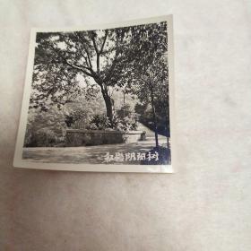 红岩阳阳树