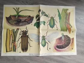 九年义务教育小学自然教学挂图   害虫