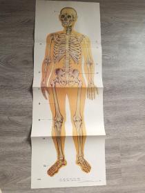 九年义务教育小学自然教学挂图  人的骨胳