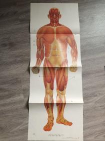 九年义务教育小学自然教学挂图   人的肌肉