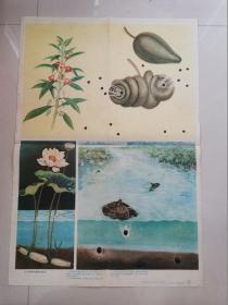 小学课本自然第一册教学挂图:水力和弹射传播果实和种子
