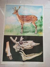 小学课本自然常识第二册教学挂图:鹿
