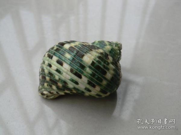 天然绿彩小海螺