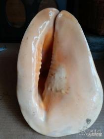 几十年的大海螺