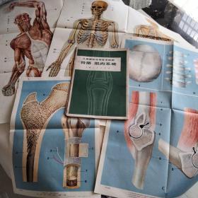 骨胳、肌肉系统挂图4幅