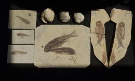 辽西、云南化石9块合售(贝类、螺、狼鳍鱼)