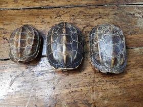 小乌龟壳——三个合售