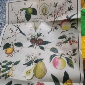民国三十八年十月五版中小学自然挂图植物辑