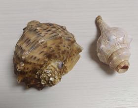 贝壳2件合售(用于收藏)