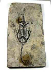 ㊣■贵州龙化石---龙纹清晰,栩栩如生■--稀少